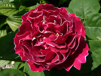 Роза Baron Girod de L Ainv