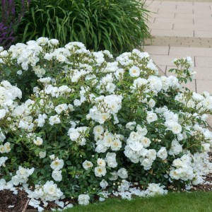 Роза White Carpet