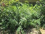 Саженцы годжи сорт Деликат (Delikate) 1-летние, пакет 3.5 л, фото 3
