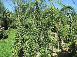 Саженцы годжи сорт Деликат (Delikate) 1-летние, пакет 3.5 л, фото 4
