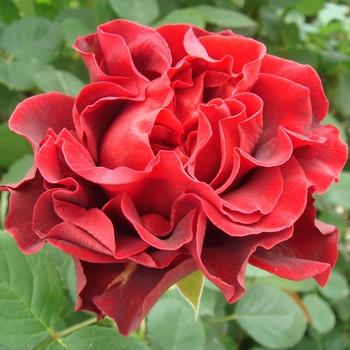 Роза Еl Toro
