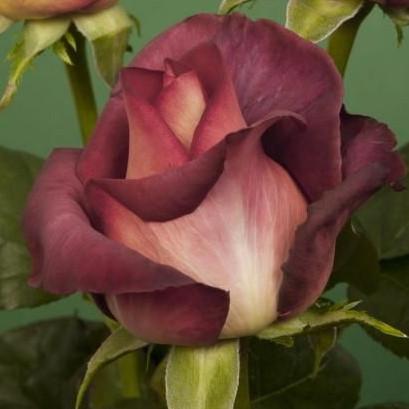 Роза Guinness