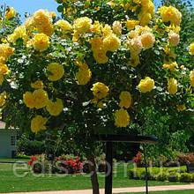 Роза штамбовая Голден Шоуэрс (Golden Showers)