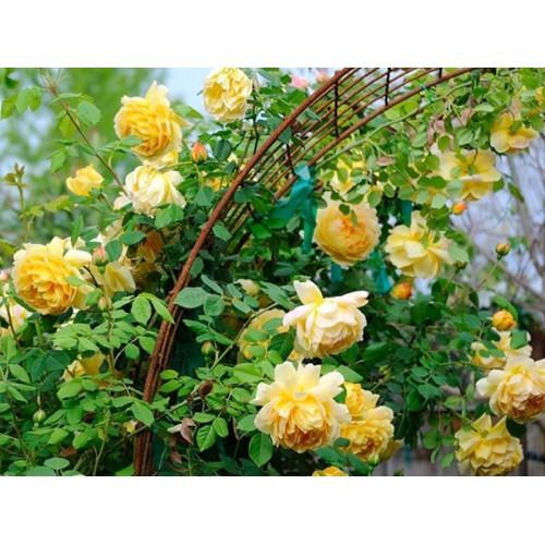Роза  Gold Beauty