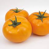 ЯМАМОТО (КС 10) F1 / YAMAMOTO (KS 10) F1 — Індетермінантний Томат, Kitano Seeds , 1000 насіння, фото 2