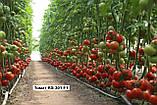 Новинка сезона!! КС 301 F1 / KS 301 F1 - Томат Индетерминантный, Kitano Seeds. 1000 семян, фото 4