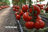 Новинка сезона!! КС 301 F1 / KS 301 F1 - Томат Индетерминантный, Kitano Seeds. 1000 семян, фото 2