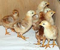Реализуем молодняк птицы, бройлера, несушки, утки