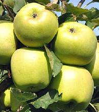 Яблуня Мутса