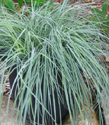 "Carex ""Blue Zinger"""