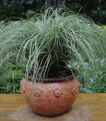 "Carex ""Amazon Mist"""