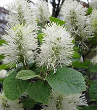 """Фотергілла """"Glaucophylla"""""""