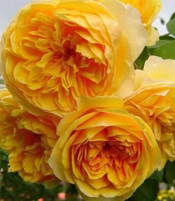 "Троянда англійська ""Graham Thomas"""