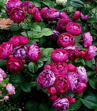 "Троянда флорибунда ""Ascot"""