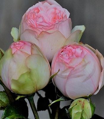 "Троянда ""Charming Piano"""