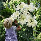 Лилия Pretty Women –Лилейное дерево. Новинка 12/14, фото 5