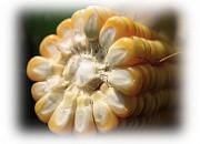 Семена кукурузы ВЕРІТІС