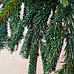 Picea pungens Glauca Globosa and Picea abies Frohburg, фото 4
