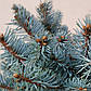 Picea pungens Glauca Globosa and Picea abies Frohburg, фото 3