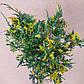 Juniperus chinensis Plumosa Aureovariegata, фото 3