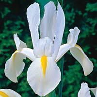 """Ірис голандський """"Уайт Ведвуд"""" Iris hollandica White Wedgwood  (кореневище) 8/9 Нідерланди"""