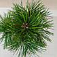 Pinus mugo Susse Perle, фото 3