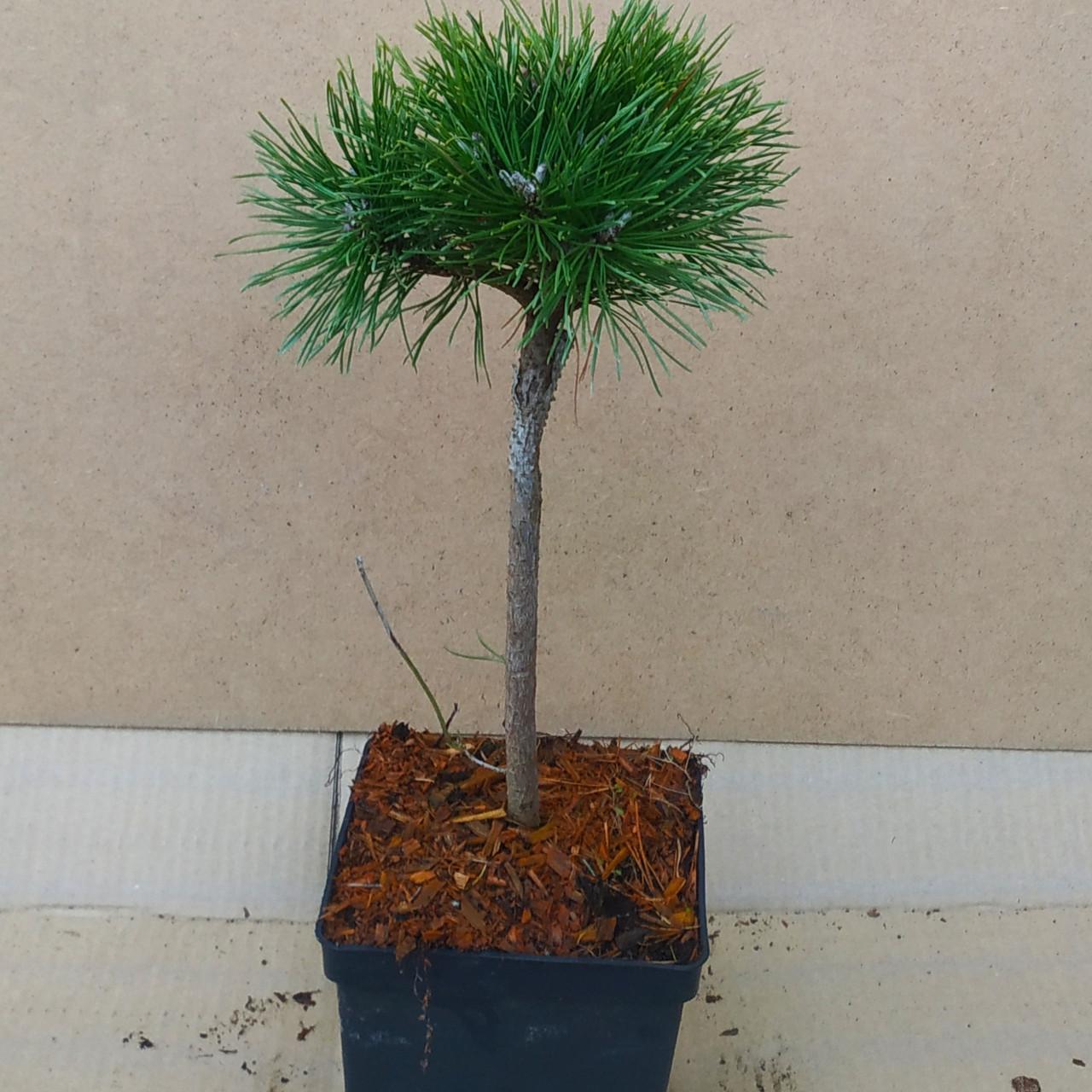 Pinus mugo Susse Perle