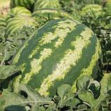 Семена арбуза Маракеш  F1 (100 сем.) Ergon, фото 2