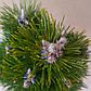 Pinus nigra Felek, фото 2