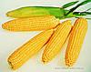 Кукурудза цукрова Леженд F1 10 кг