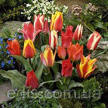 Колекція низькорослих тюльпанів 10 сортів 30 цибулин