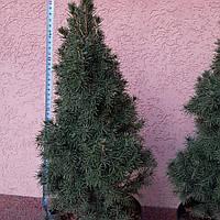 Ель канадская Коника 'Conica' (С3-С5 ,  высота 55+ см) живая новогодняя ель!