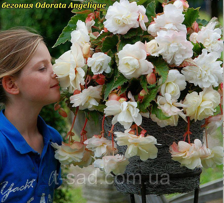 Бегония Odorata Angelique (Одората Анжелика) клубни от 10шт