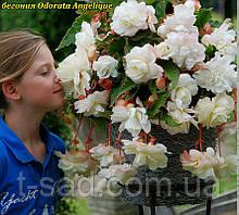 Бегонія Odorata Angelique (Одората Анжеліка) бульби від 10шт