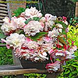 Бегония Odorata Angelique (Одората Анжелика) клубни от 10шт, фото 2