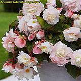 Бегония Odorata Angelique (Одората Анжелика) клубни от 10шт, фото 4