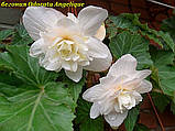 Бегония Odorata Angelique (Одората Анжелика) клубни от 10шт, фото 6
