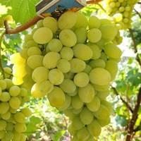Виноград Мускат Болгария - раннее среднего срока, крупноплодный, морозостойкий