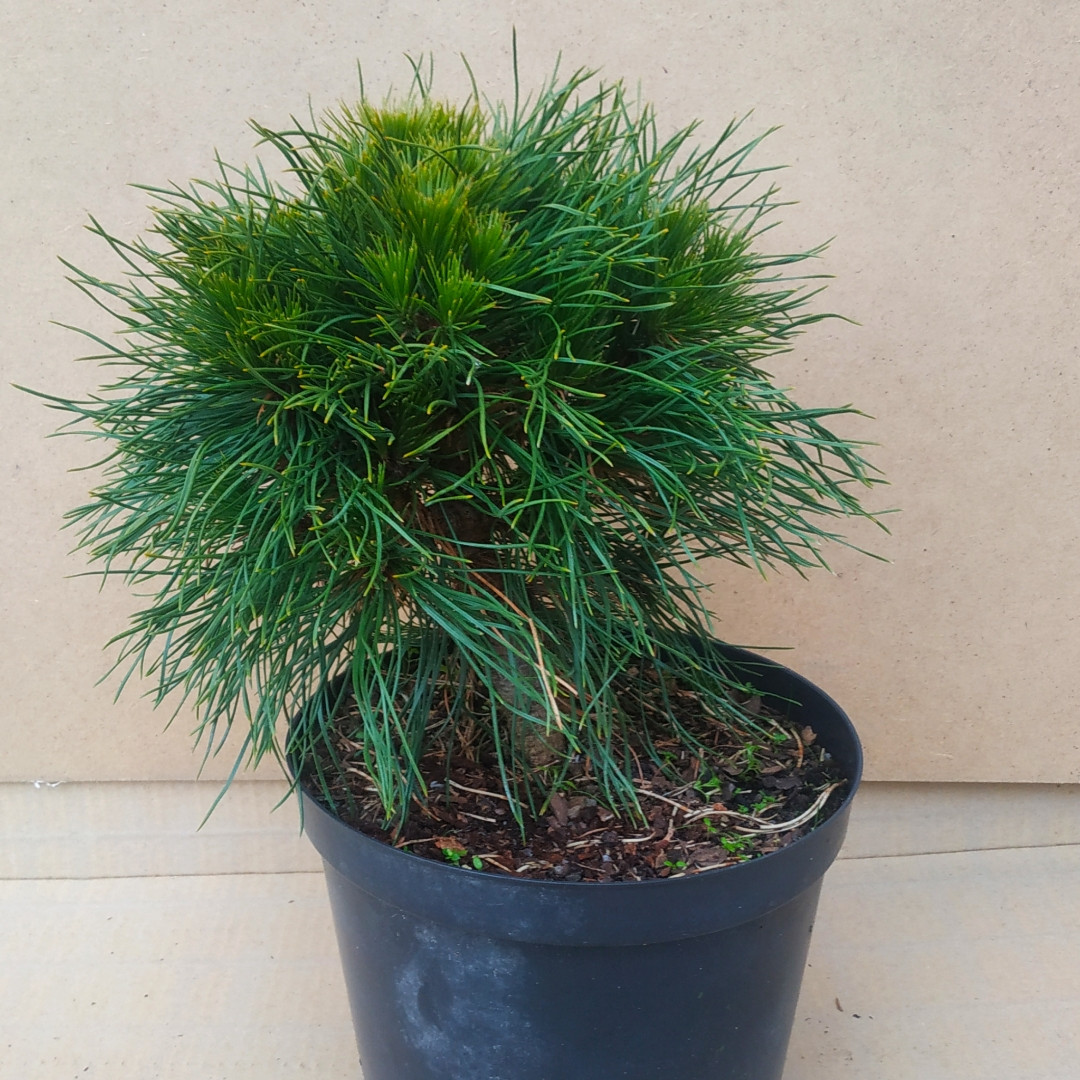 Pinus mugo Varella