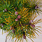 Pinus mugo Luna, фото 2