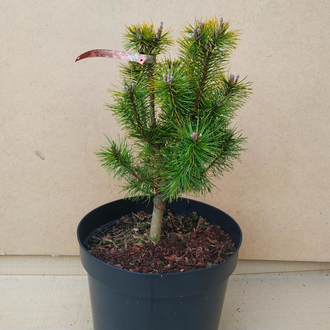 Pinus mugo Luna