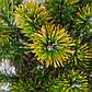 Pinus mugo Little Gold Star, фото 3