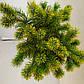 Pinus mugo Little Gold Star, фото 2