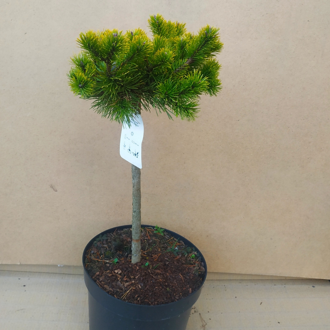 Pinus mugo Little Gold Star
