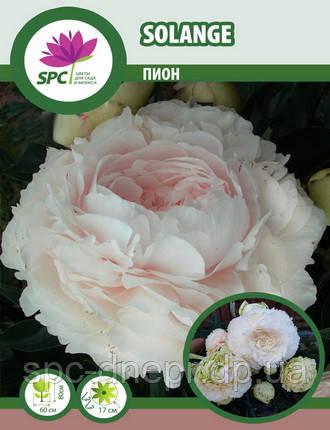 Пион травянистый Solange, фото 2
