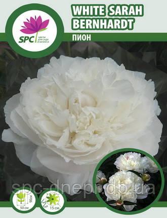 Пион травянистый White Sarah Bernhardt, фото 2