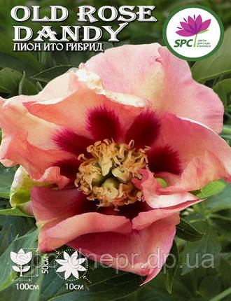 Пион ИТО Canary Old Rose Dandy, фото 2
