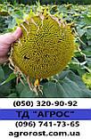 Насіння врожайного соняшника Кардінал 32 ц/га. Гібрид засухостійкий та витримує шість рас вовчка A-F.. Екстра, фото 2