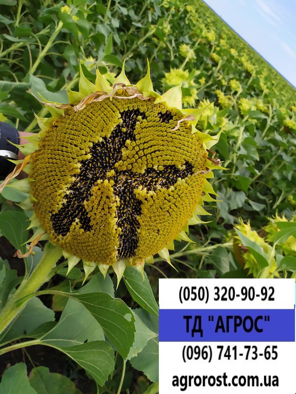 Насіння врожайного соняшника Кардінал 32 ц/га. Гібрид засухостійкий та витримує шість рас вовчка A-F.. Екстра