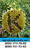 Насіння врожайного соняшника Кардінал 32 ц/га. Гібрид засухостійкий та витримує шість рас вовчка A-F.. Екстра, фото 3